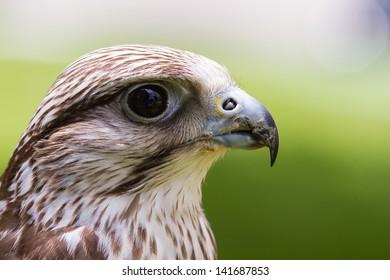 falcon saker close up
