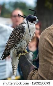 Falcon sitting on hand