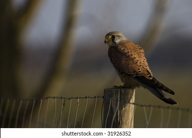 falcon sitting on a stake