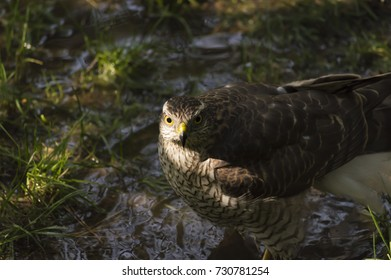Falcon in the swamp is washed