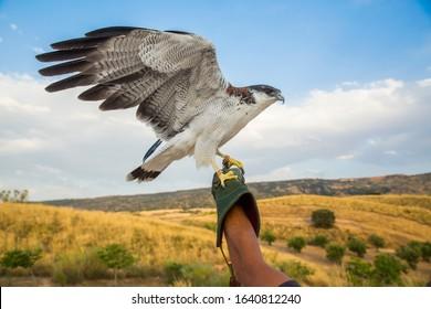 Falcon wild life in a field summer portrait