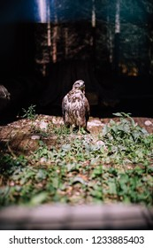 Falcon in the zoo, falcon in captivity.