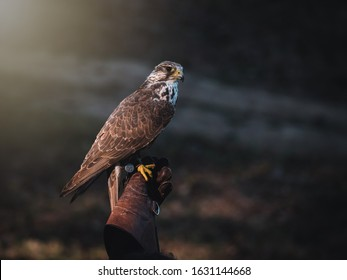 Falconer hand with Saker falcon (Falco cherrug). Saker falcon sits on glove falconer. Autumn sun background. Saker falcon portrait.