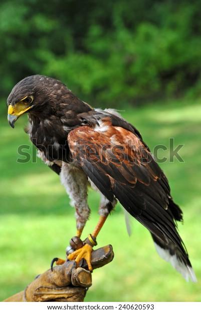 Falconer Holding a Beautiful Falcon Outdoors