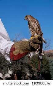 Falconry practice with a kestrel