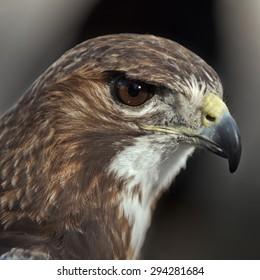 Falconry raptors.