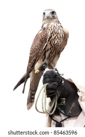 Falcons sits on the hunter's glove, isolated on white background.