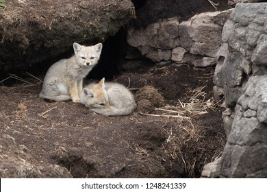 Falkland Island young fox pups sleeping and sitting just outside their den on Weddell Island in the Falkland Islands.