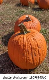 Fall apple picking means choosing a ripe pumpkin