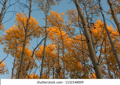 Fall Aspen Trees in New Mexico
