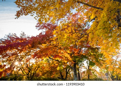 Fall Autumn leaves on trees in Japan. Karuizawa is a mountain resort town and a shopping street of Nagano Prefecture, Japan