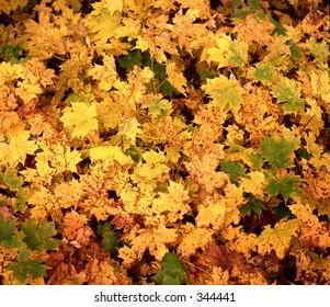 Fall (autumn) leaves - vibrant colors