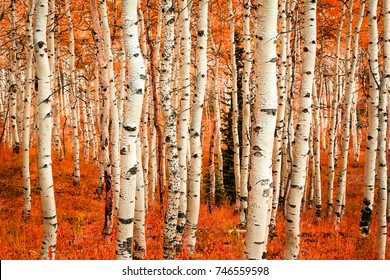 Fall color in an aspen glade, Utah, USA.