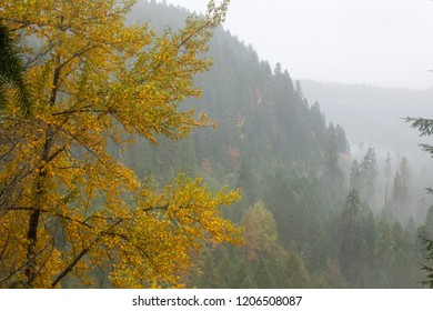 Fall color and a foggy forest in the Cascade mountains