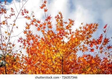 Fall Color Maple Leaves at the Forest in Aomori, Japan
