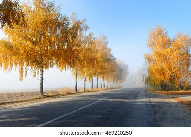 Fall colored birch trees along a road in foggy morning