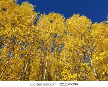 Fall colors with aspen trees at Locket Meadow Flagstaff Arizona