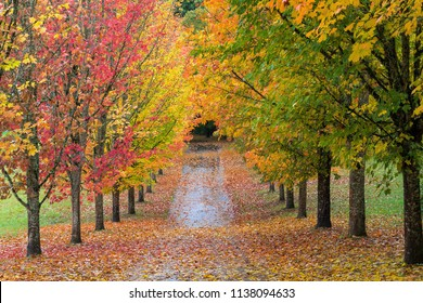 Fall Colors of Maple Tree Lined Path in Oregon