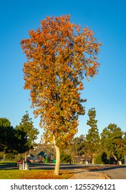 Fall Colors on a Lone Tree in a Southern California Park in December