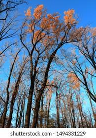 Fall Colors - Tall autumn trees reach for a deep blue sky.