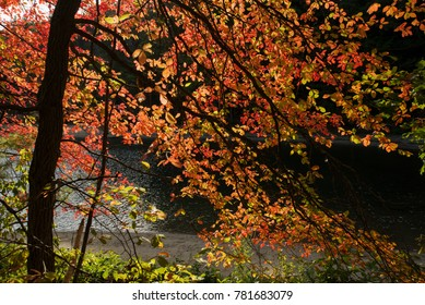 Fall colors in Walden Pond Concord MA Massachusetts USA