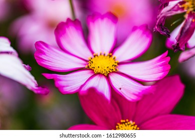 Fall cosmos field flowers background flowers close up