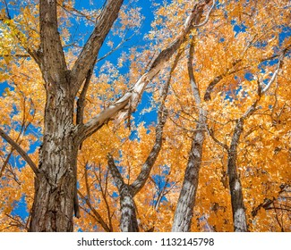 Fall Cottonwood Trees in New Mexico