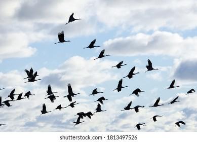 Fall - flock of cranes birds migrating south