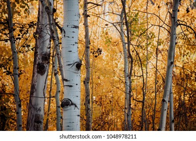 Fall foliage in Aspen Grove, Crested Butte, Colorado