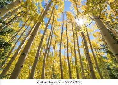 Fall foliage in Aspen Tree Grove, Seasonal Autumn Colors