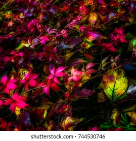 Fall foliage fine art colorful floral autumn photo of virginia creeper in red, green, yellow, blue, pink, violet in intense colors, surreal floral fantasy in painting style