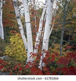Fall foliage in the forest in late autumn with white birch trees