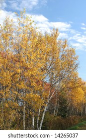 The fall foliage of Paper Birch, or White Birch, along the Confederation Trail in Prince Edward Island, Canada