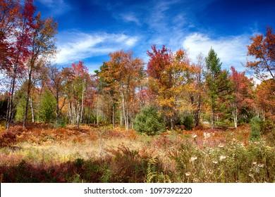 Fall foliage, Quehanna Wild Area is a wildli