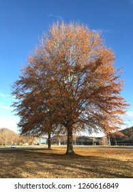 A fall foliage willow oak (Quercus phellos) tree at Oak Ridge Marina, Oak Ridge, Tennessee.