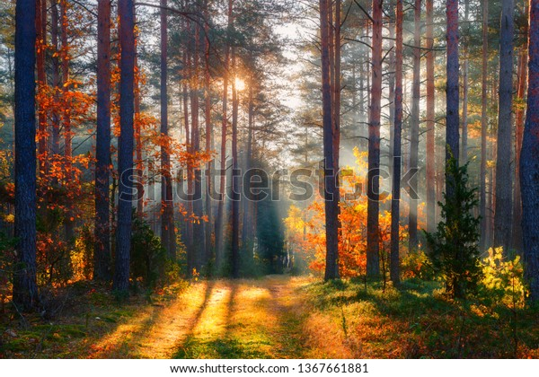 Fall. Fall forest. Forest landscape. Autumn nature. Sunshine in forest. Sun shines through trees. Path in natural park with autumn trees.