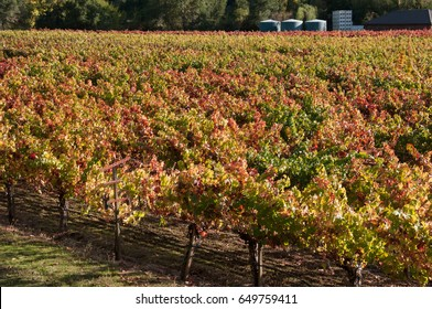 Fall grape vines show color with vineyard in background