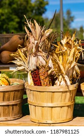 Fall Harvest Colorful Indian Corn in a Basket. Selective focus.