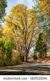 Fall image of a large tree changing colors along the roadside