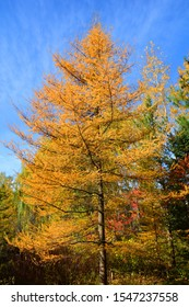 In fall Larix laricina, commonly known as the tamarack, hackmatack, eastern, black, red or American larch, is a species of larch native to Canada