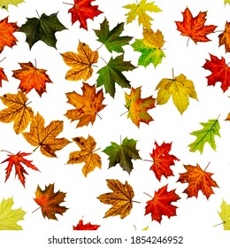 Fall leaf seamless pattern. Season leaves fall background. Autumn yellow red, orange leaf isolated on white. Colorful maple foliage.