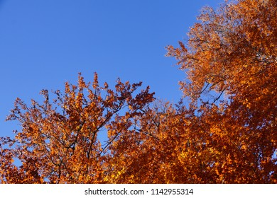 Fall leaves autum orange tree at sunny day with blue sky as copy space.