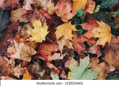 Fall leaves background. Welcome Autumn concept. Maple, texture, pattern, September, October, November, thanksgiving