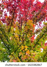 Fall leaves changing color gradually producing a beautiful gradient effect.