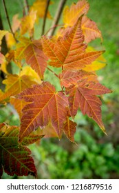Fall leaves. Maple leaves