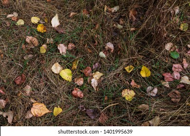 Fall leaves on dry brown dead tall fallen grass with moisture