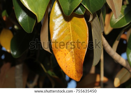 Fall Leaves On Magnolia Tree Photograph Stock Photo Edit Now
