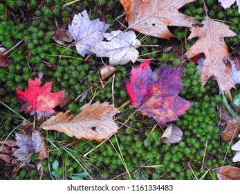 Fall leaves on a mossy green ground cover