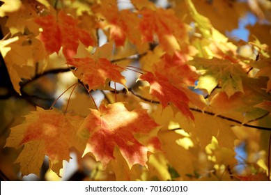 Fall leaves in orange, and gold on a branch.
