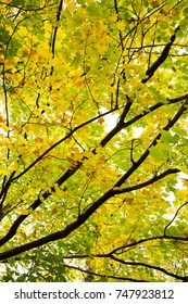 Fall leaves, turning yellow. These are Maple leaves.